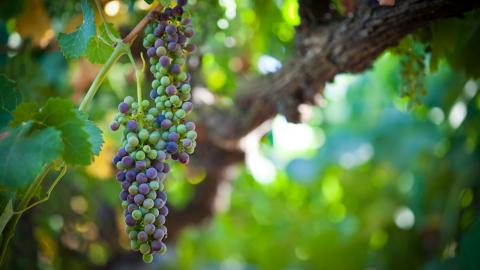 grapes hanging from tree